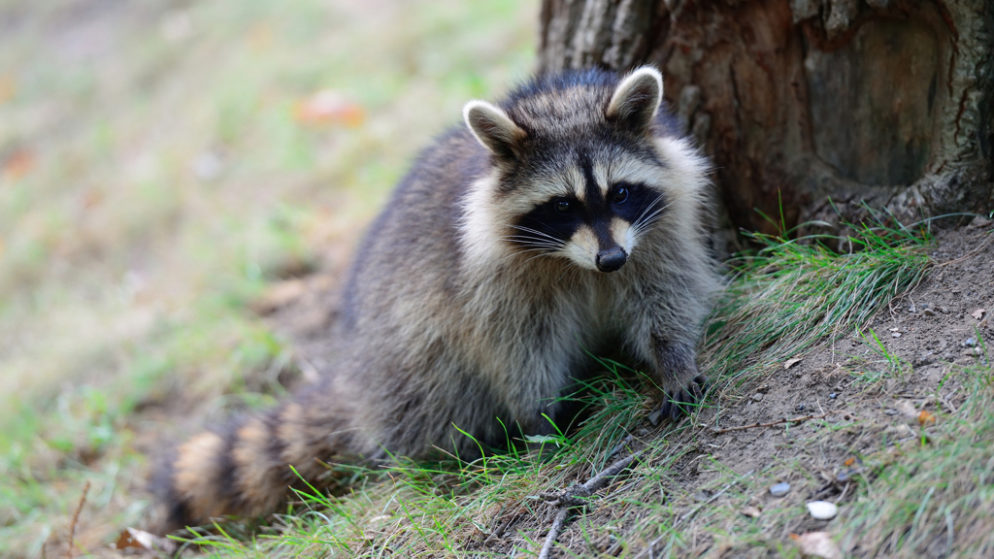how to get rid of raccoons poison