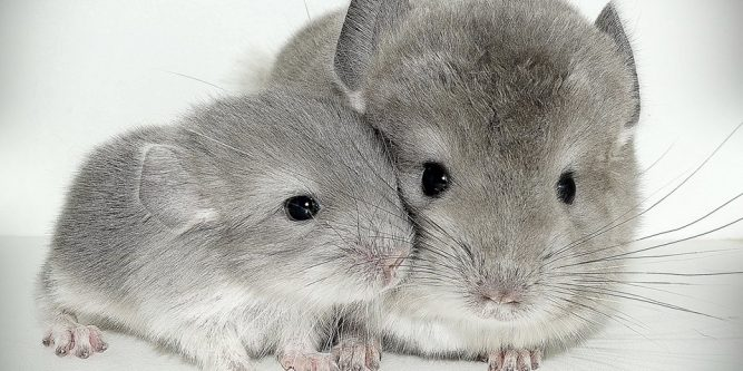 Chinchilla care - photo#39