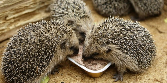 What Do Hedgehogs Eat | Hedgehogs Diet