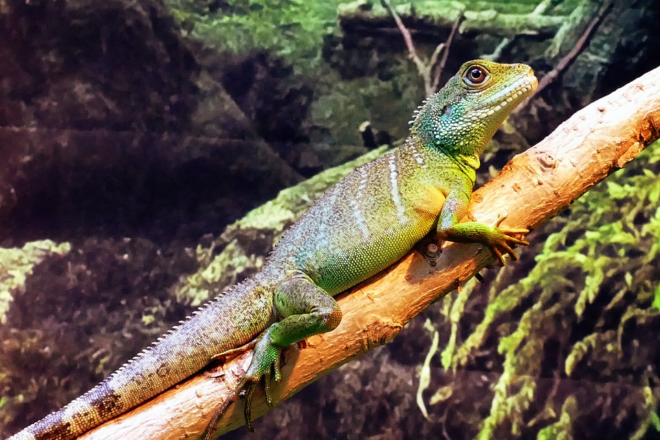 Blue Iguana For Sale : Grand cayman blue iguana looking to side greeting card for sale by