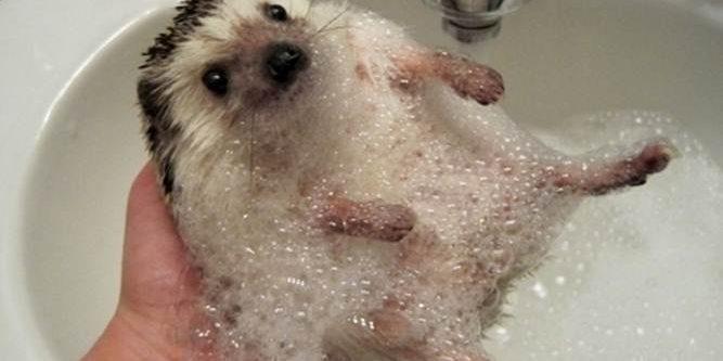 Hedgehog Care How To Care Of Hedgehogs Kbmdc Update 2019