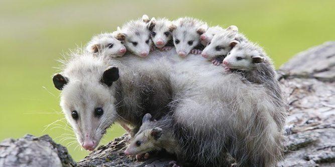 Best Possum Trap In 2020 How To Get